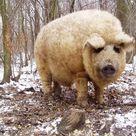 Mangalitsa, The Pig That Resembles a Sheep