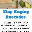 How to Grow an Avocado Tree in a Small Pot at Home - URBAN GARDENING IDEAS