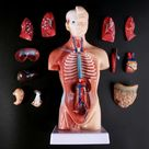 Medical Props Model Human Torso Body Anatomy Medical Internal Organs