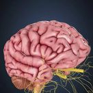 Framed Photo. Human brain with nerves