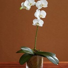 Potted Orchid Centerpiece