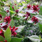 Carolina Allspice Calycanthus Floridus For Sale - Save 80%