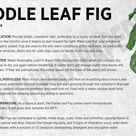 Fiddle Leaf Fig Ficus Lyrata Care Card