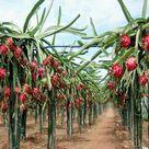 Red Pitaya Fruit Seeds
