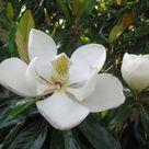 Pick the Right Magnolia