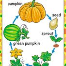 Free Printables of the Parts and Life-cycle of a Pumpkin