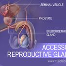 Male Reproductive Structures
