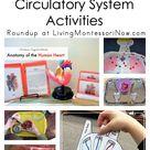 Montessori-Inspired Heart and Circulatory System Activities