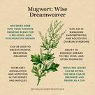 Mugwort: Wise Dreamweaver Infographic