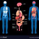 Human anatomy internal organs layout vector image on VectorStock