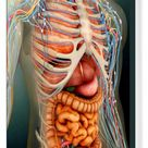 Box Canvas Print. Perspective view of human body, whole organs