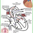 #circulatory system