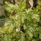 Artemisia vulgaris Limelight Mugwort Quart Plant