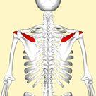 Supraspinatus muscle - Wikipedia
