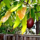 How to Plant an Avocado Tree