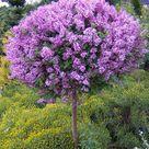 Dwarf Lilac Tree