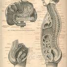 Large 1890s Human Anatomy Print, MALE INTERNAL ORGANS