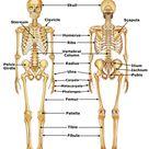 bones in the human skeleton