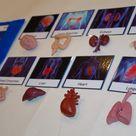 Human Organs Safari Toob Montessori matching activity  Montessori early learning material  Human Body, Anatomy