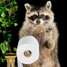 BR75 Taxidermy TP holder Raccoon 'Flipping off' Giving the Finger Anthropomorphic Oddities Curiosities Collectible Preserved Specimen Decor