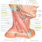 Head & Neck Muscles - Oblique Diagram
