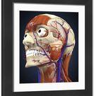 Human head with bone, muscles and circulatory system. Framed Photo. Human head with bone, muscles and circulatory system.