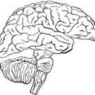 Human Central Nervous System   ClipArt ETC