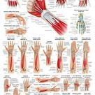 Muskeln: Aufbau, Muskelstrenge, Verbindungen incl Kraftübertragung.