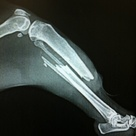 Raccoon with a complete transverse fracture of the tibia and fibula.