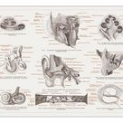 A1 Poster. Anatomy of the human ear, lithograph, published in