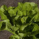 Grow Romaine Lettuce