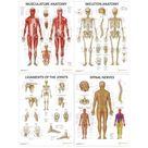 Anatomy Poster Bundle (Laminated) - Muscular, Skeletal, Ligaments & Spinal Nerves