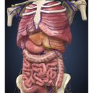 A1 Poster. Midsection view showing internal organs of human body