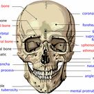 Flashcards Table on Define The Following Frontal Bone Flashcards