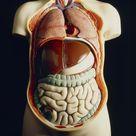 Jigsaw Puzzle. Model of human torso showing internal organs