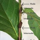 How to branch fiddle leaf fig bushes into trees (step by step guide) — Greenhouse Studio