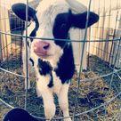Holstein Cows