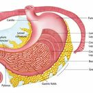 1000 Piece Puzzle. Anatomy of the human stomach