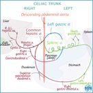 Gross Anatomy Glossary: Arteries - Celiac Trunk