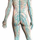 1000 Piece Puzzle. Diagram of human nervous system, posterior