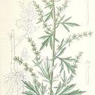 Bijvoet - Artemisia vulgaris