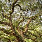 Angel Oak Tree Johns Island SC by Dustin K Ryan