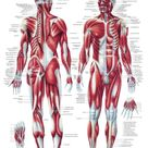 The Human Muscular System Laminated Anatomy Chart