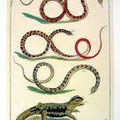 Snakes Serpents Lizard  Albertus Seba Book Page  Cabinet | Etsy