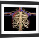 Framed Photo. Rib cage with nerves, arteries and veins