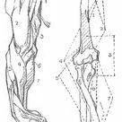 Anatomy of the arm, George Bridgman art book