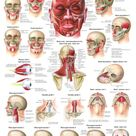 Muscles of Buttock, Hip and Pelvis Laminated Anatomy Chart