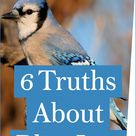 6 Truths About Blue Jays