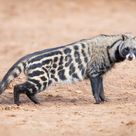 African Civet Facts, Habitat, Diet, Musk, Life Cycle, Baby, Pictures