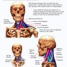 Neck Anatomy